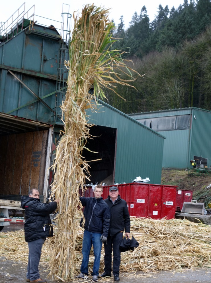 Tall Giant King Grass was tested for cellulosic ethanol production.