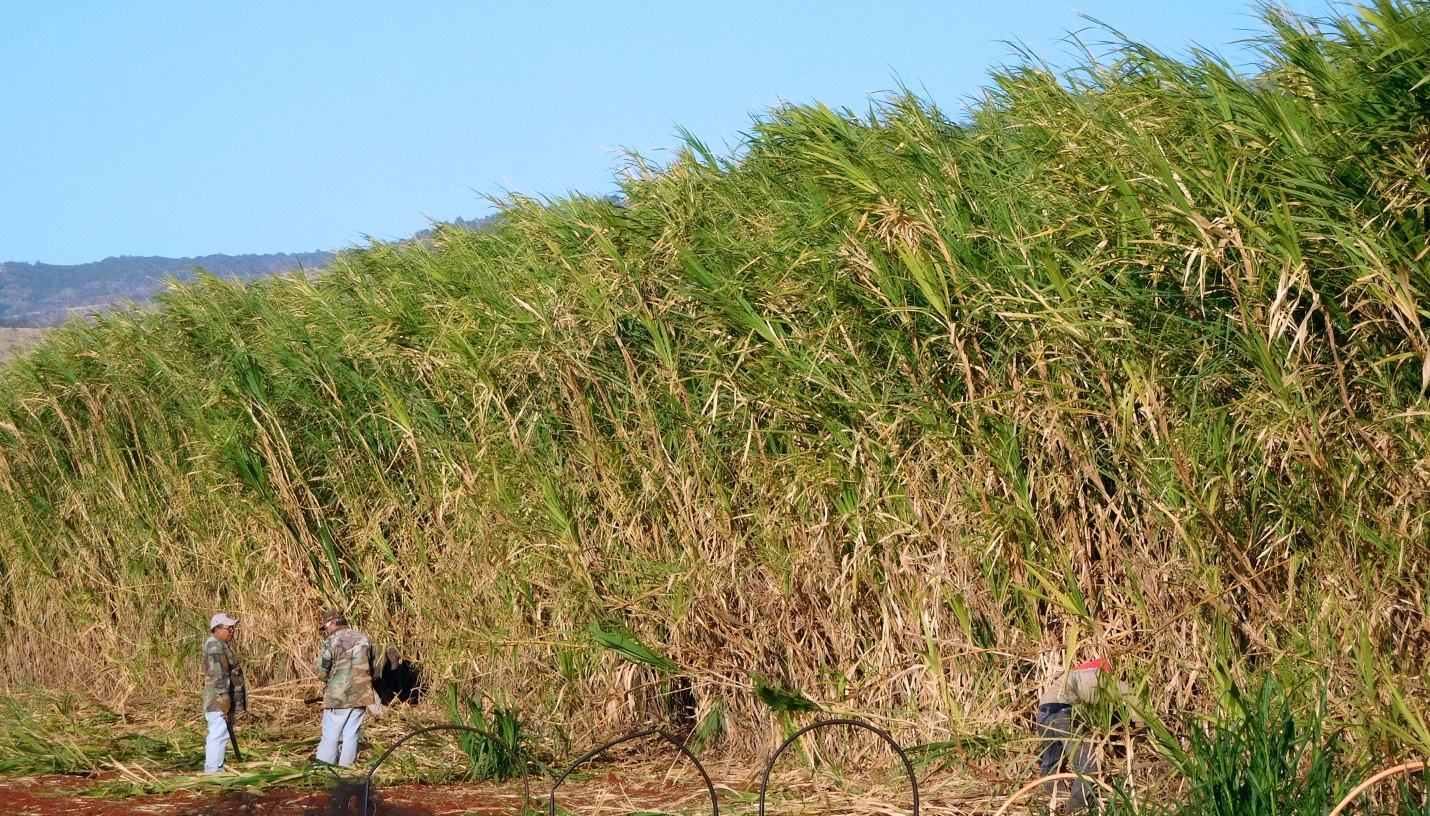 16 foot tall Giant King Grass Growing in Hawaii-- Ready for Harvest